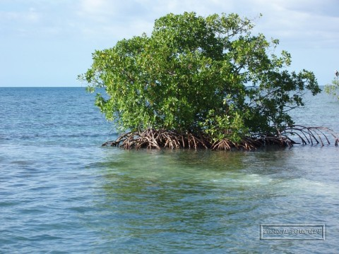 mangrove, guadeloupe, sainte rose, paletuvier