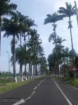 guadeloupe, capesterre, allee dumanoir, basse terre, palmier