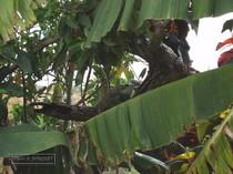 iguane commun, iguane hybride, basse terre, guadeloupe