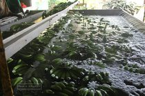 banana, guadeloupe, plantation, grand cafe, capesterre