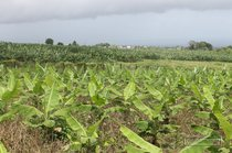 banana, guadeloupe, plantation, grand cafe, capesterre