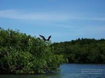 mangrove, guadeloupe, sainte rose, paletuvier, fregate