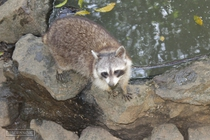 zoo, mamelles, guadeloupe, racoon