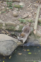 zoo, mamelles, guadeloupe, racoon