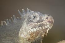 zoo, mamelles, guadeloupe, iguana, parc des mamelles