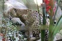 zoo, guadeloupe, mamelles, jaguar, parc des mamelles