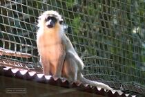 zoo, guadeloupe, mamelles, monkey, parc des mamelles