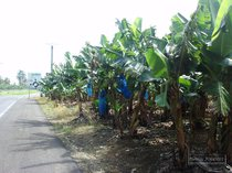 guadeloupe, capesterre, banana, basse terre, banana plant